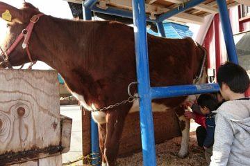 ふれあい牧場では、牛の乳搾りができて搾りたての牛乳を飲むことができます。
