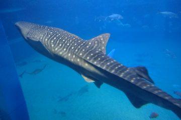 海遊館のジンベイザメは大きくて人気があります。ジンベイザメが近づいてくると子どもたちも大喜びです。